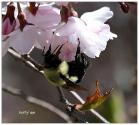 【小虫摄影】蜜蜂樱花-2013