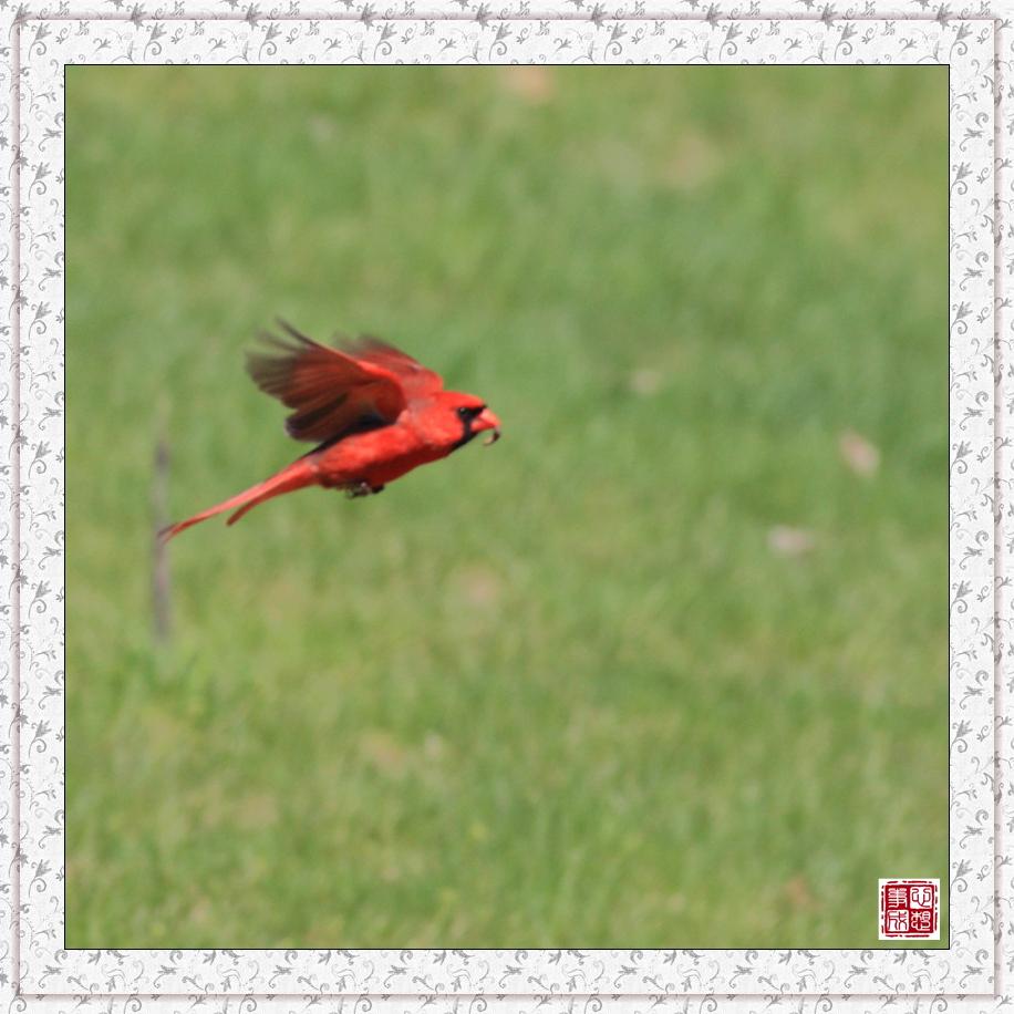 【心想事成】红衣教主鸟_图1-6
