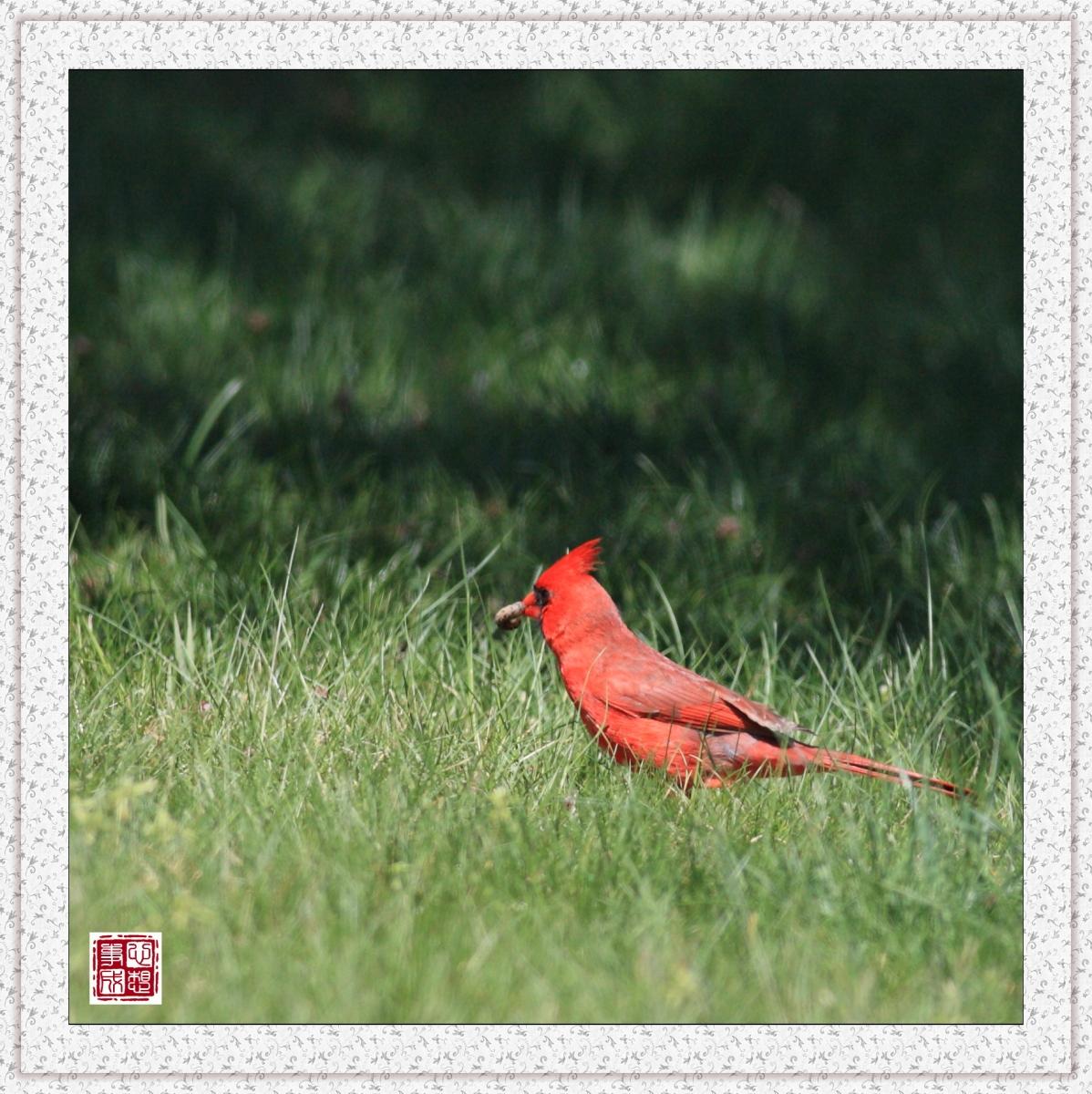 【心想事成】红衣教主鸟_图1-3