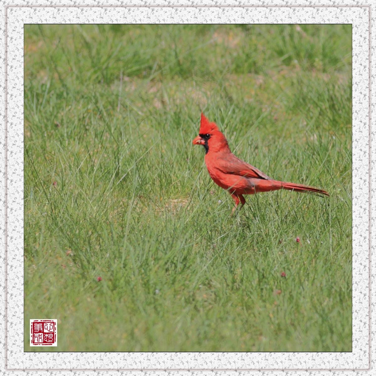 【心想事成】红衣教主鸟_图1-4