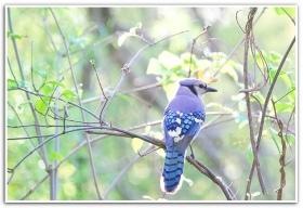 月影.冠蓝鸦 蓝鸟
