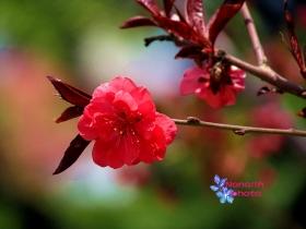 [nanalin]五月樱花