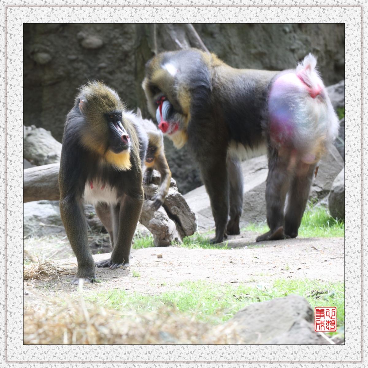 【心想事成】 人类的祖先?BRONX 动物园随拍_图1-3