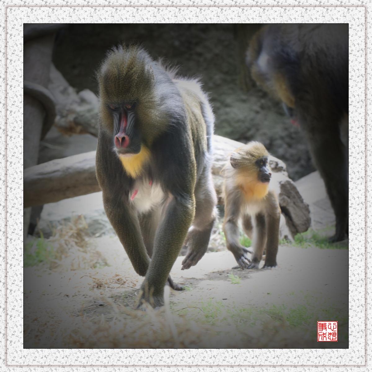 【心想事成】 人类的祖先?BRONX 动物园随拍_图1-2
