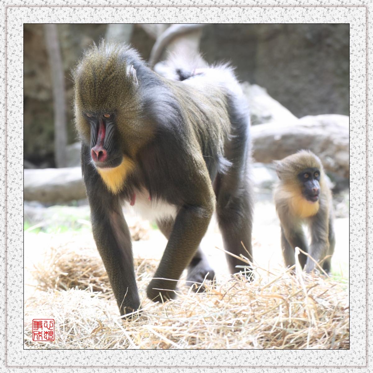 【心想事成】 人类的祖先?BRONX 动物园随拍_图1-1