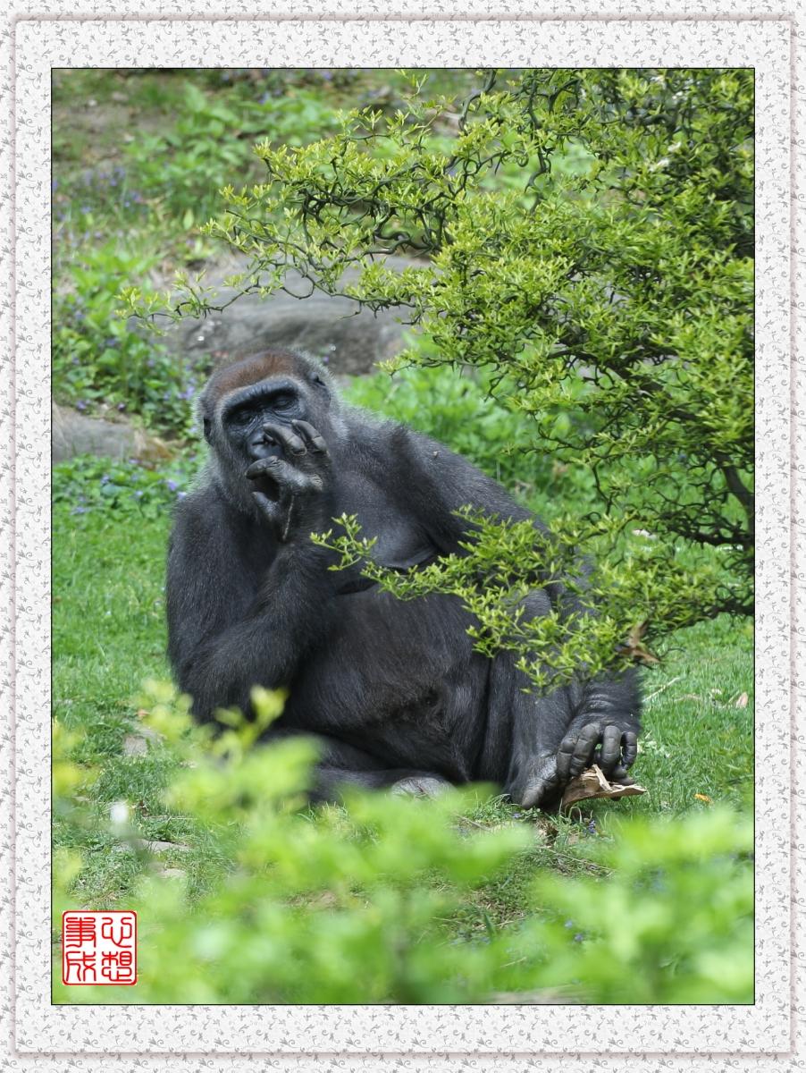 【心想事成】 人类的祖先?BRONX 动物园随拍_图1-13