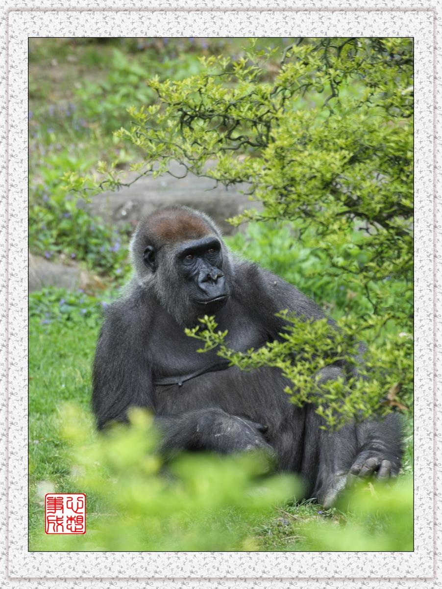 【心想事成】 人类的祖先?BRONX 动物园随拍_图1-14