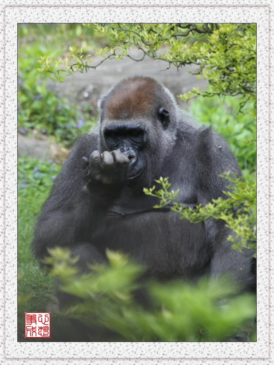 【心想事成】 人类的祖先?BRONX 动物园随拍_图1-16