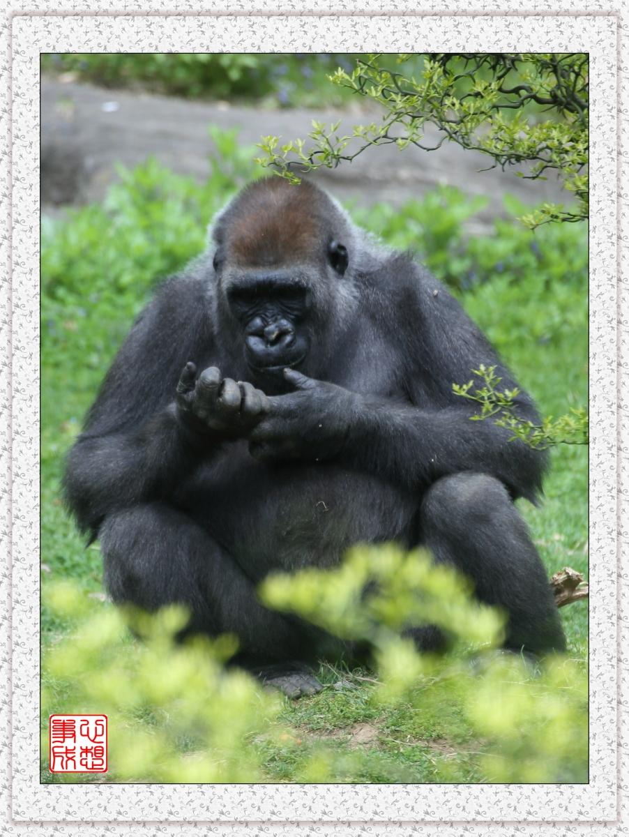 【心想事成】 人类的祖先?BRONX 动物园随拍_图1-17