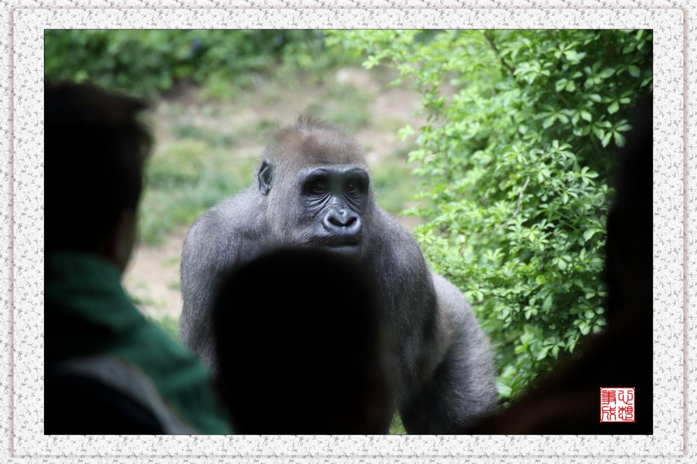 【心想事成】 人类的祖先?BRONX 动物园随拍_图1-19