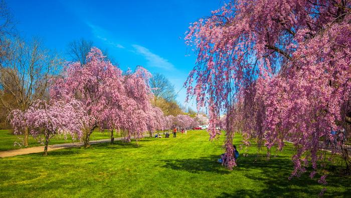 【自由鸟】樱花,如山间的雾,也如梦中的诗_图1-4