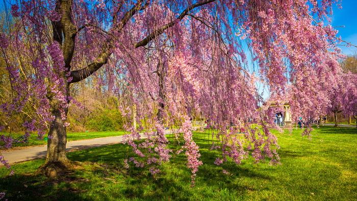 【自由鸟】樱花,如山间的雾,也如梦中的诗_图1-8