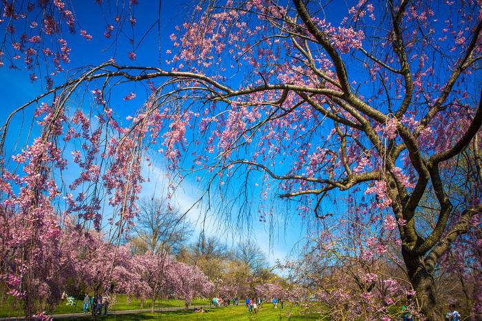 【自由鸟】樱花,如山间的雾,也如梦中的诗_图1-13