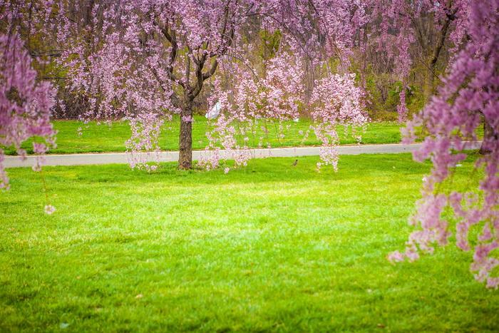 【自由鸟】樱花,如山间的雾,也如梦中的诗_图1-14