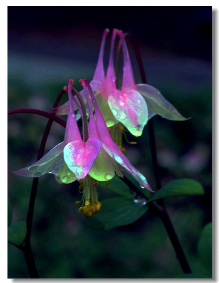 花卉选拍-耧斗菜_图1-4