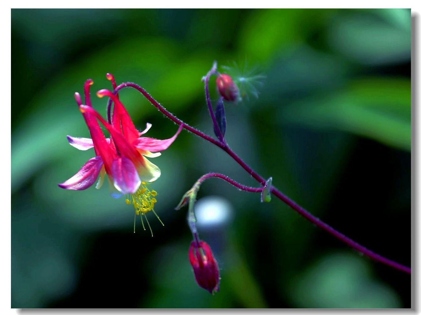 花卉选拍-耧斗菜_图1-6