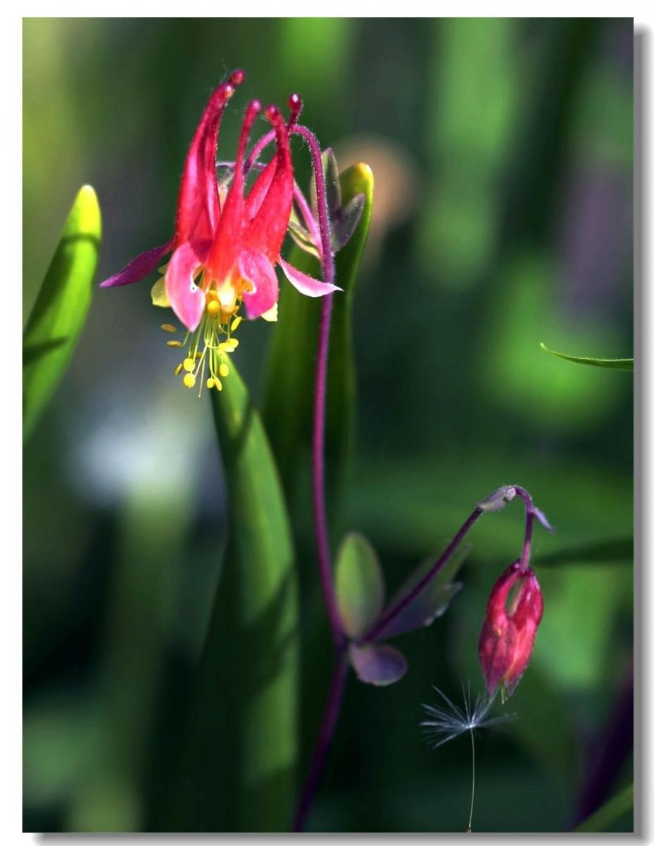 花卉选拍-耧斗菜_图1-8
