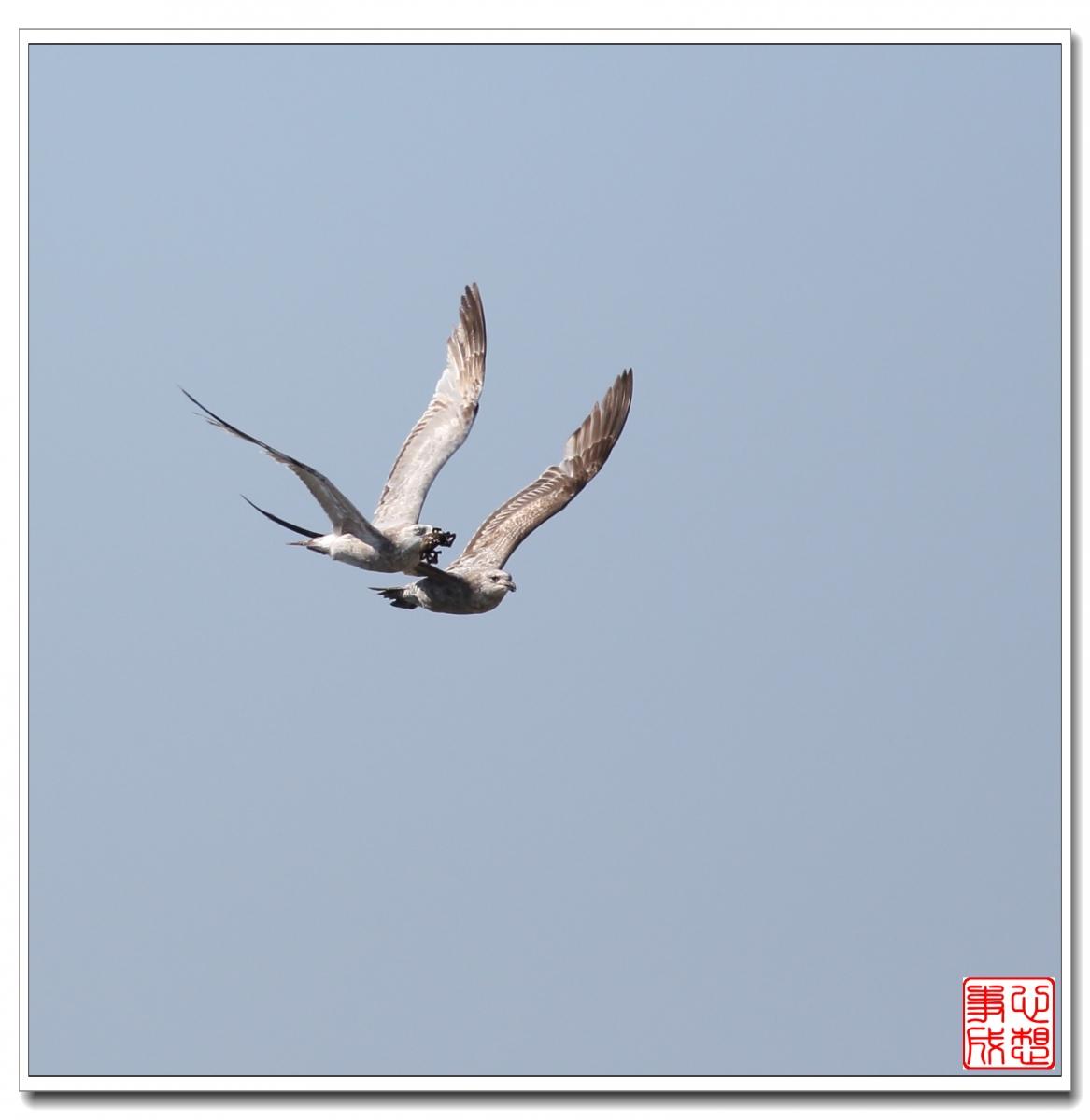 【心想事成】空中表演-海鸥_图1-2