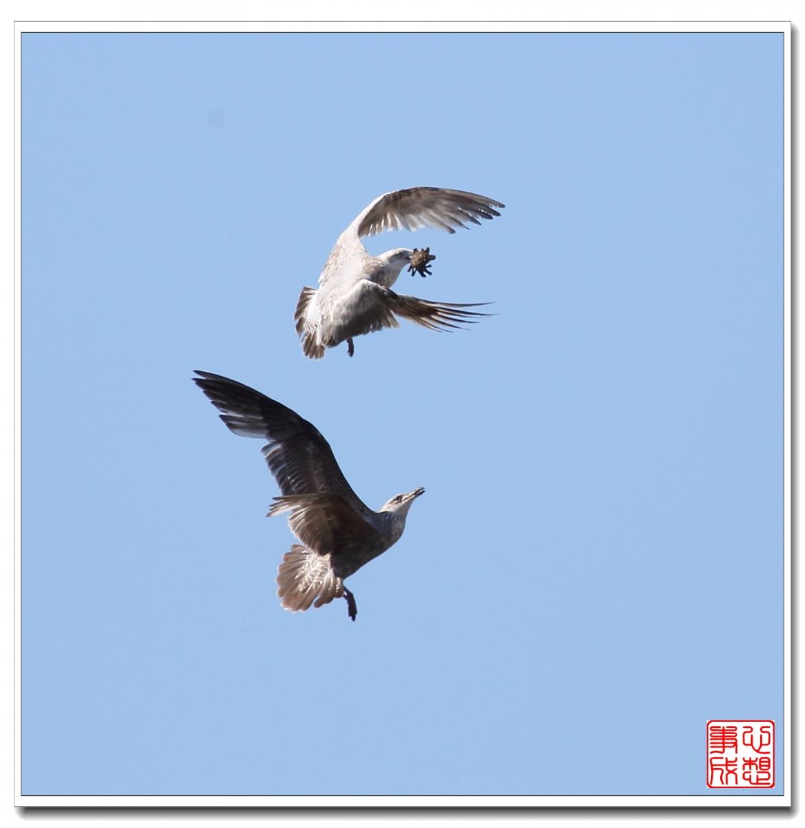 【心想事成】空中表演-海鸥_图1-3