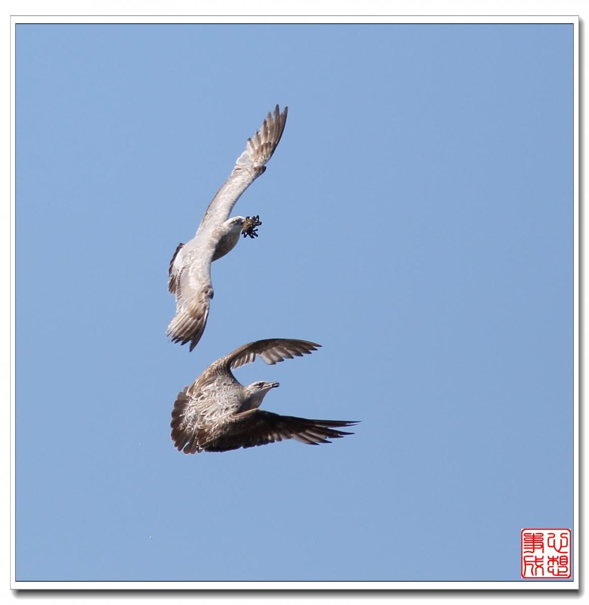 【心想事成】空中表演-海鸥_图1-4