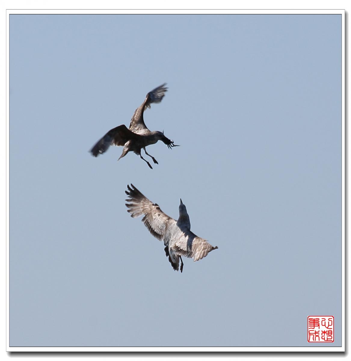 【心想事成】空中表演-海鸥_图1-9