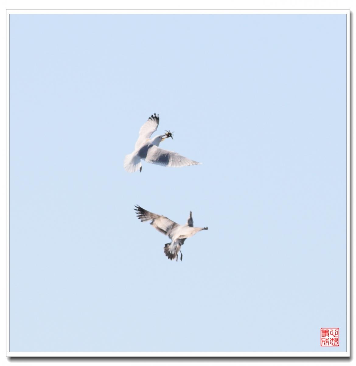 【心想事成】空中表演-海鸥_图1-15
