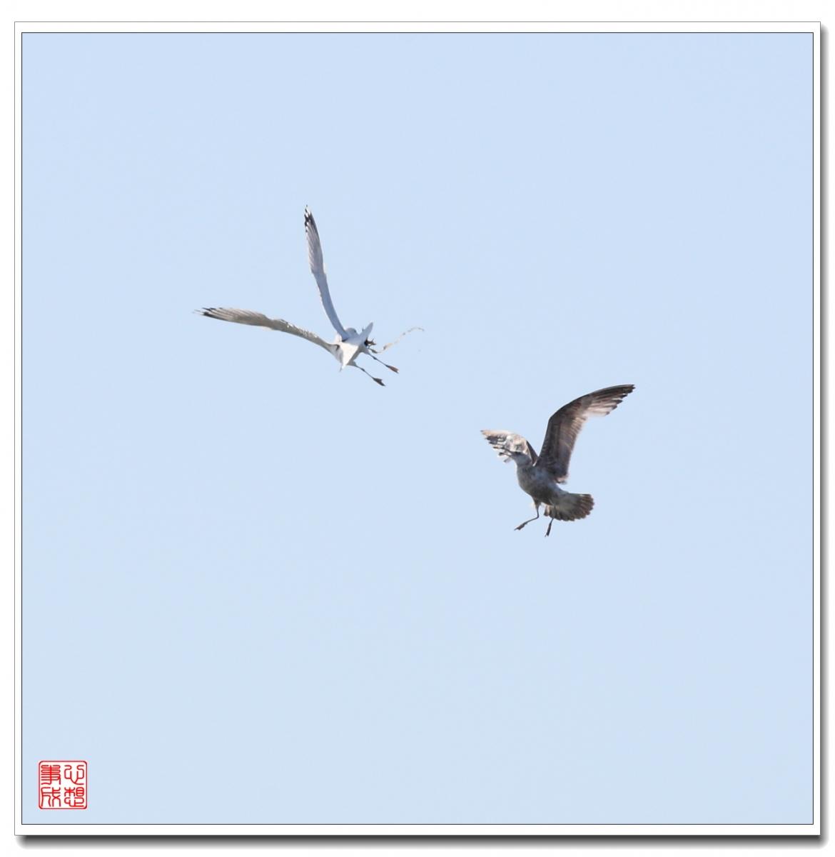 【心想事成】空中表演-海鸥_图1-22