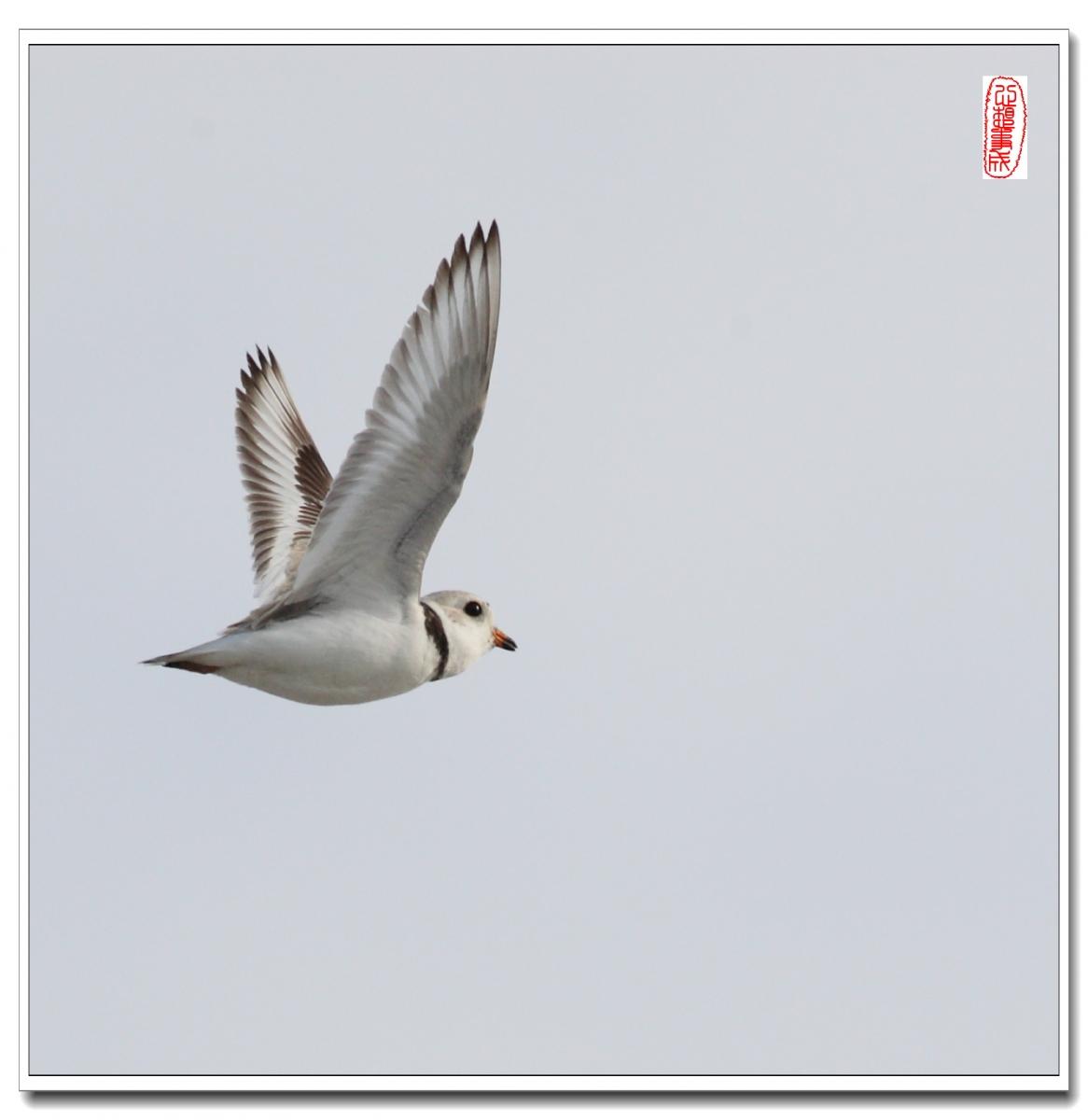 【心想事成】 飞鸟随拍图之二_图1-8