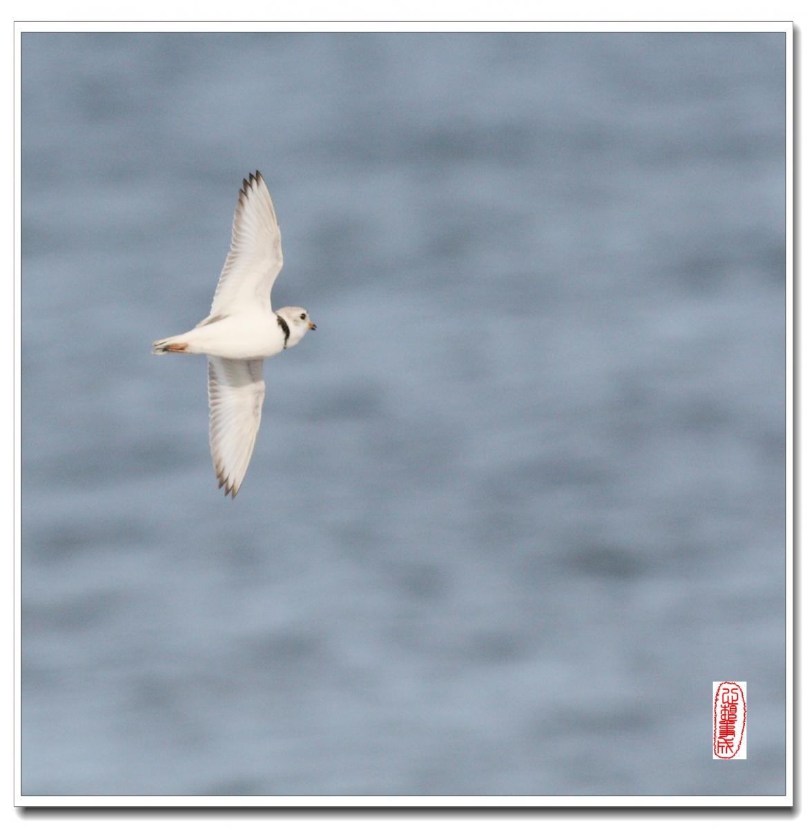 【心想事成】 飞鸟随拍图之二_图1-9