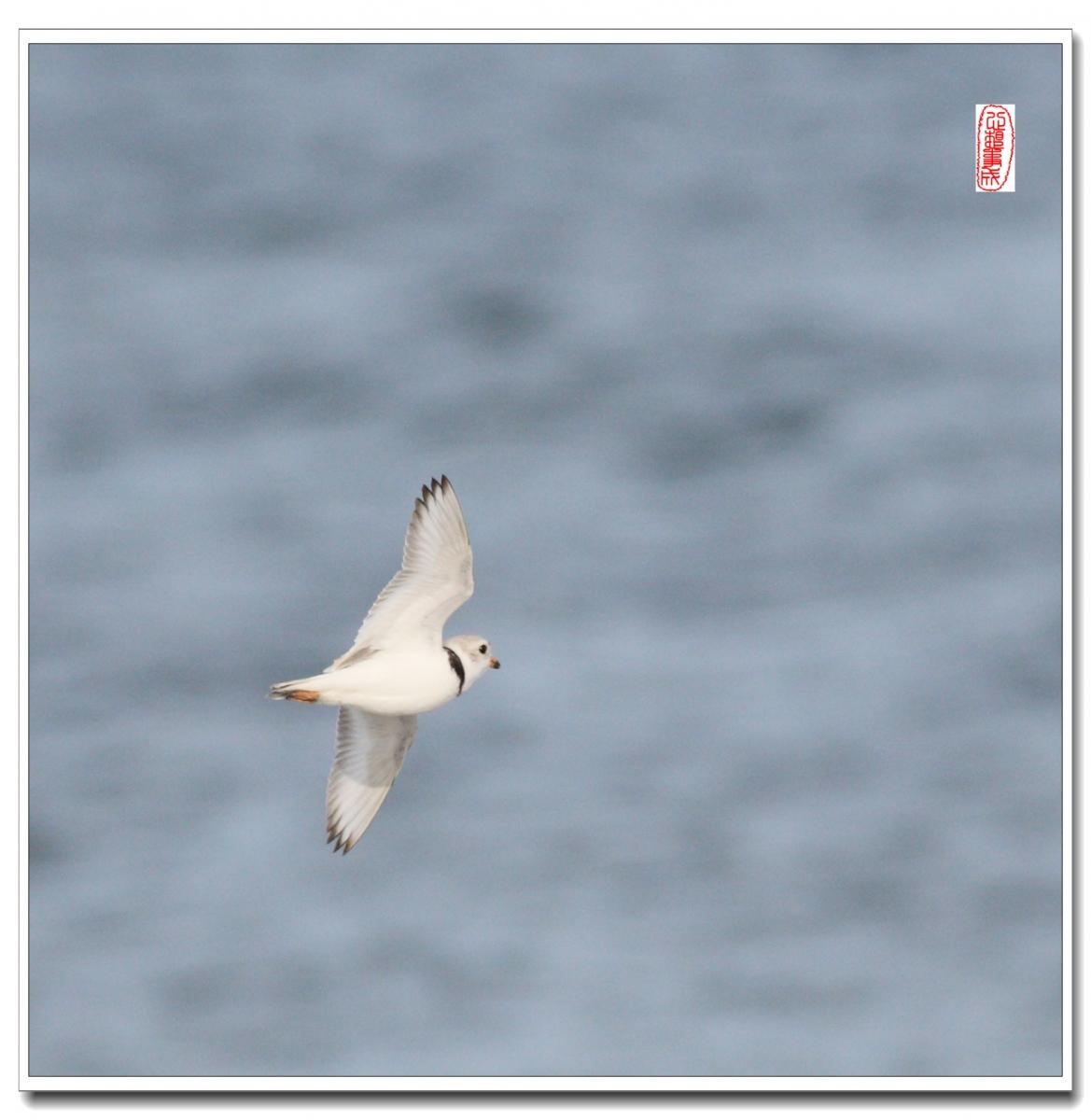【心想事成】 飞鸟随拍图之二_图1-10