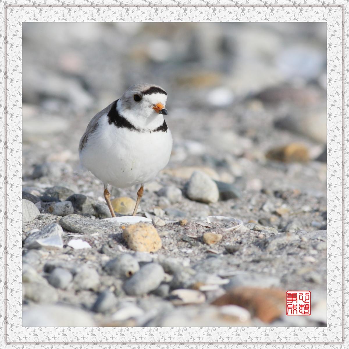 【心想事成】 飞鸟随拍图之二_图1-12