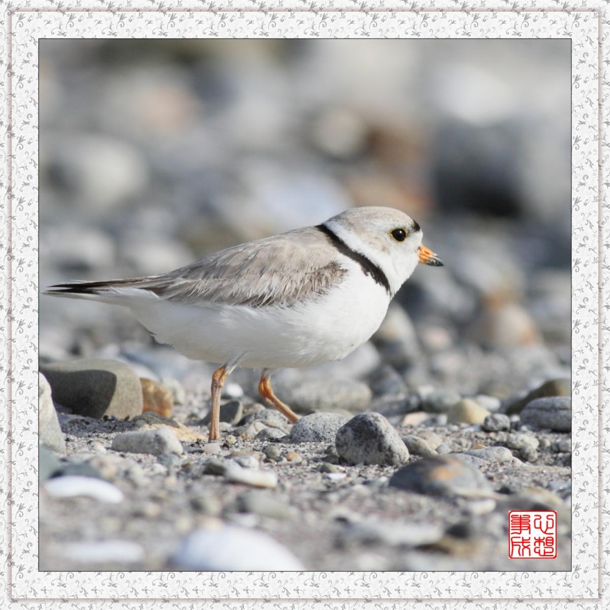 【心想事成】 飞鸟随拍图之二_图1-11