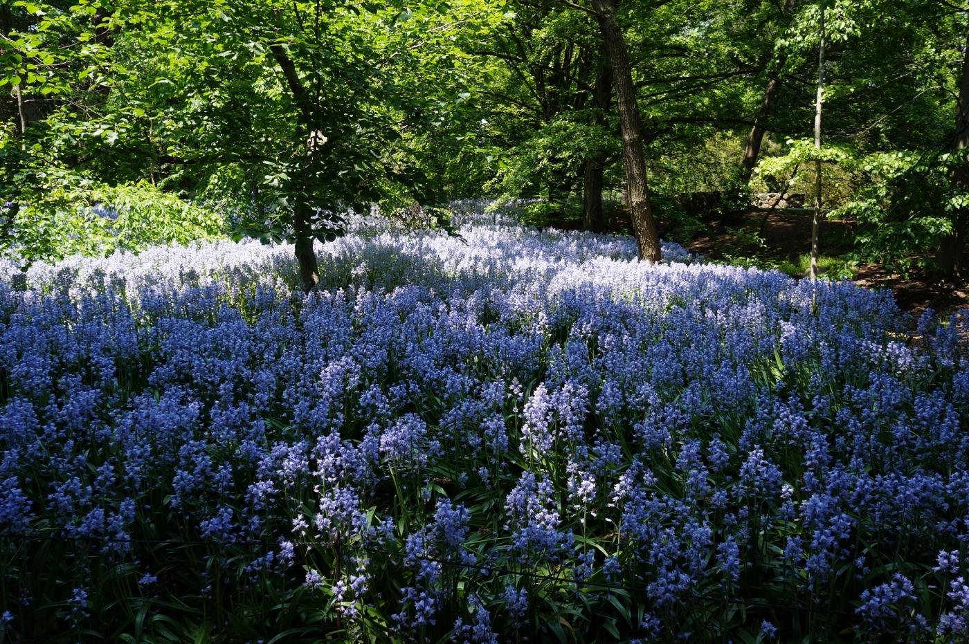 [jiejoy]布鲁克林植物园---Bluebell Wood_图1-2