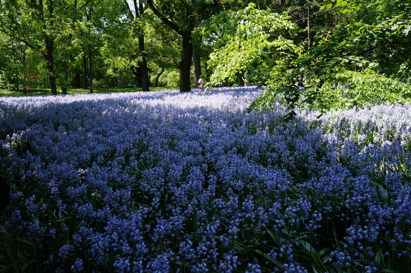 [jiejoy]布鲁克林植物园---Bluebell Wood_图1-3