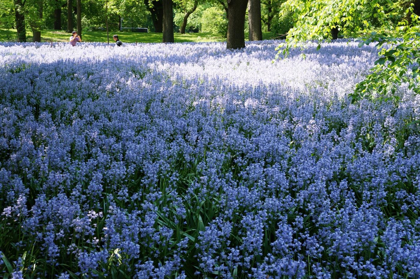 [jiejoy]布鲁克林植物园---Bluebell Wood_图1-5