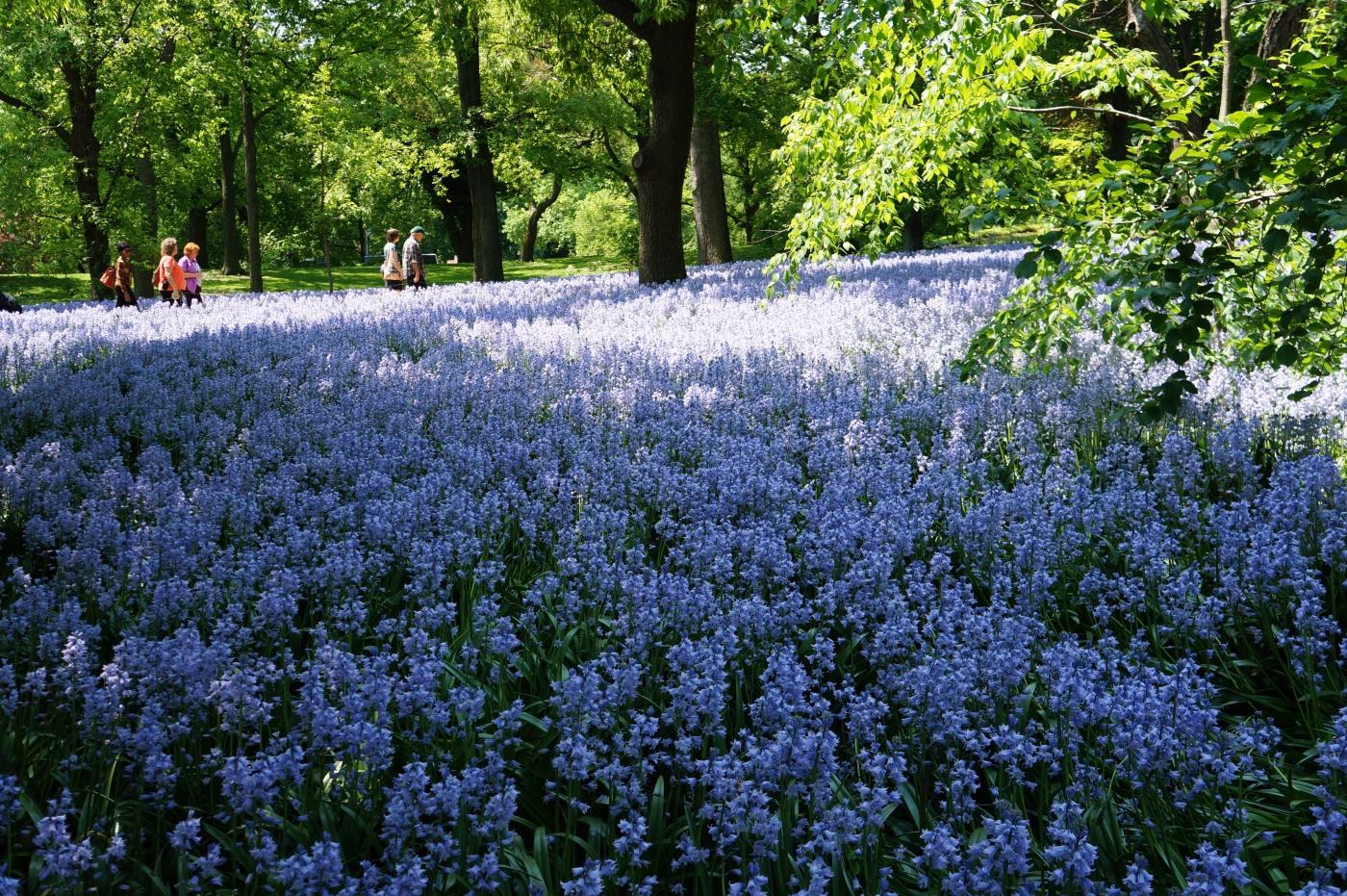 [jiejoy]布鲁克林植物园---Bluebell Wood_图1-6