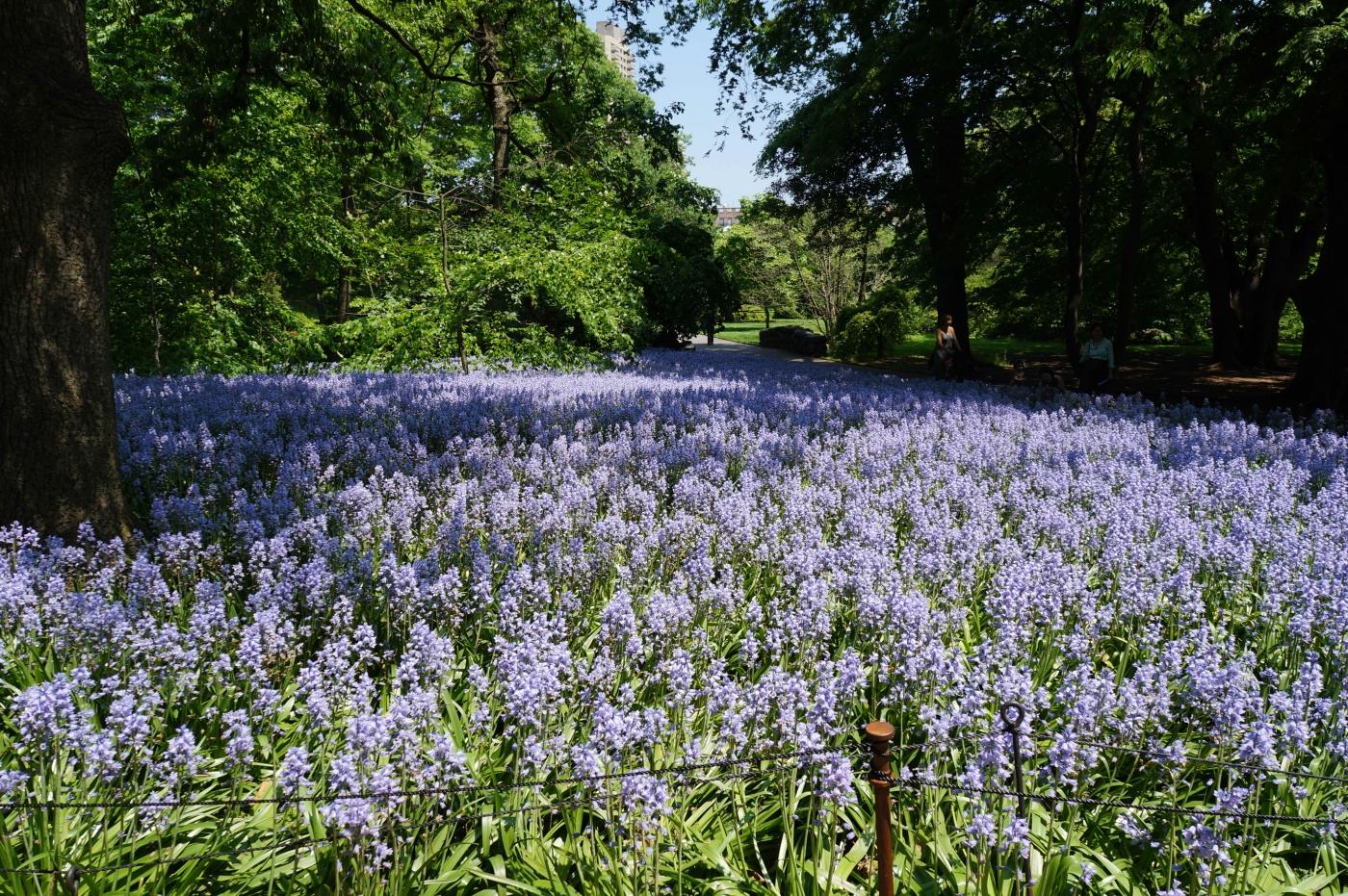[jiejoy]布鲁克林植物园---Bluebell Wood_图1-8