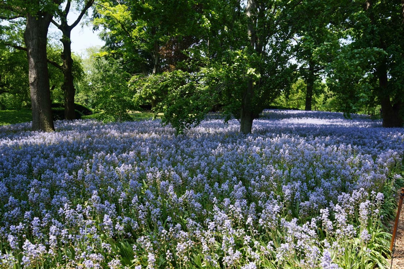 [jiejoy]布鲁克林植物园---Bluebell Wood_图1-9