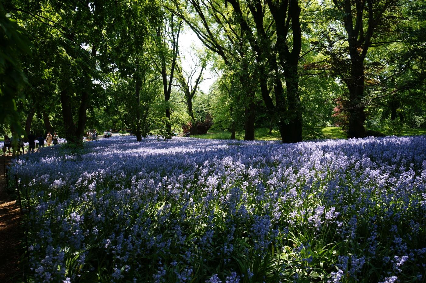 [jiejoy]布鲁克林植物园---Bluebell Wood_图1-10