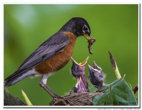 鸟爸妈轮流喂养4只幼鸟的感人