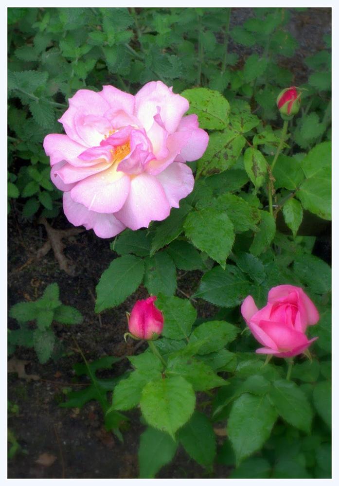 雨中玫瑰_图1-2