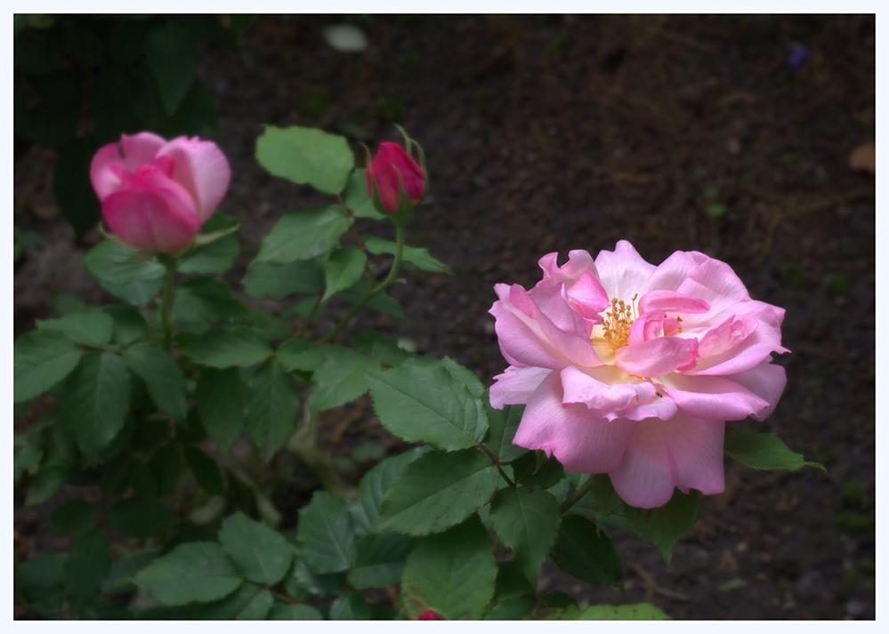 雨中玫瑰_图1-1