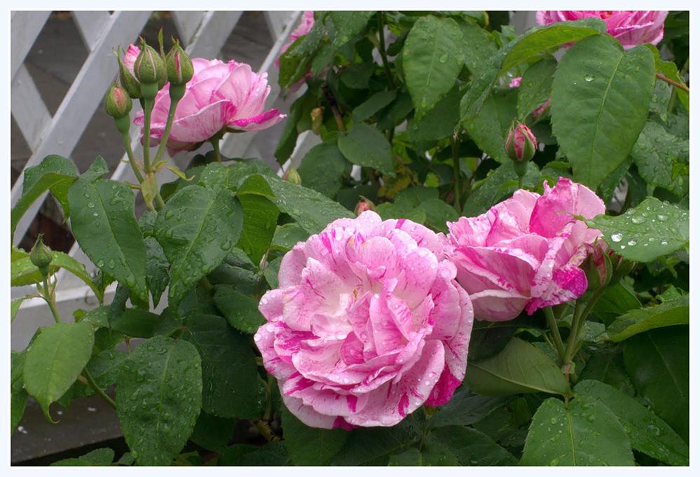 雨中玫瑰_图1-5