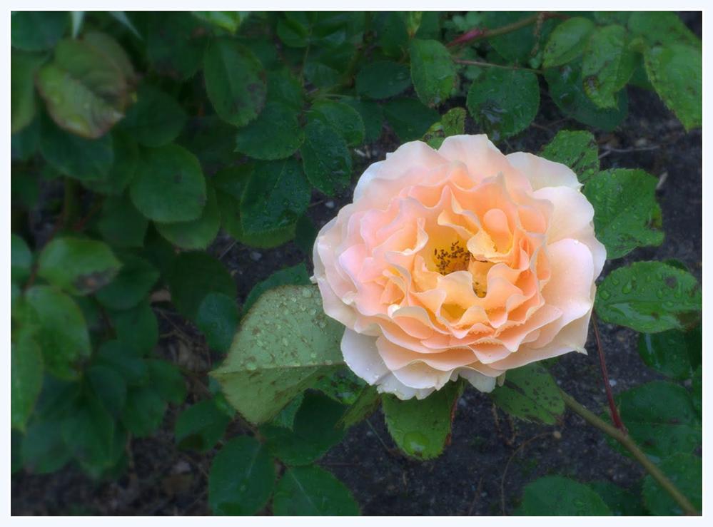 雨中玫瑰_图1-21