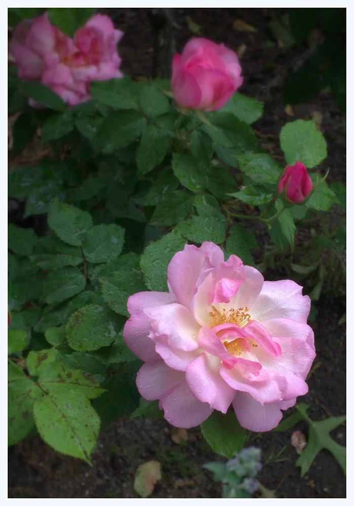 雨中玫瑰_图1-6