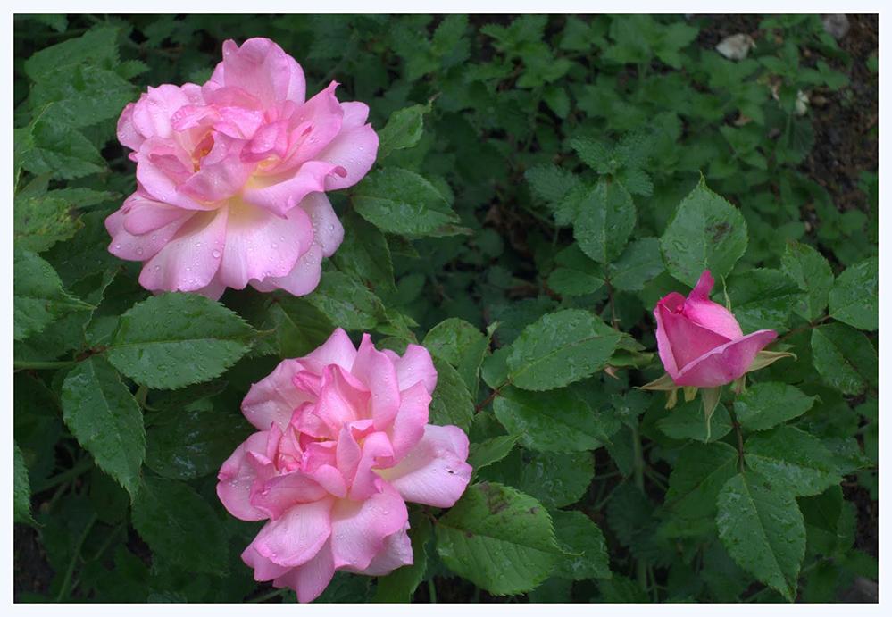 雨中玫瑰_图1-7