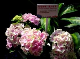 吴山城隍阁的八仙花(二)