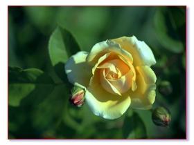羞嗒嗒的玫瑰静悄悄的开