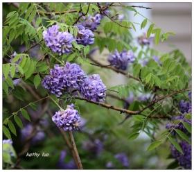 【小虫摄影】球形的紫藤花