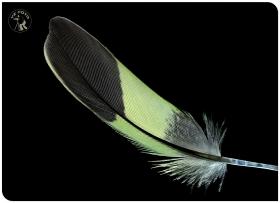 【相机人生】(405)羽毛之美